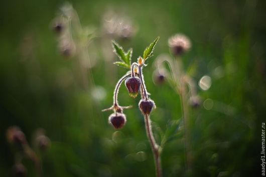 Гравилат речной, фотокартина цветы, природа, цветы, красота, красивая фотография, фотография в рамку