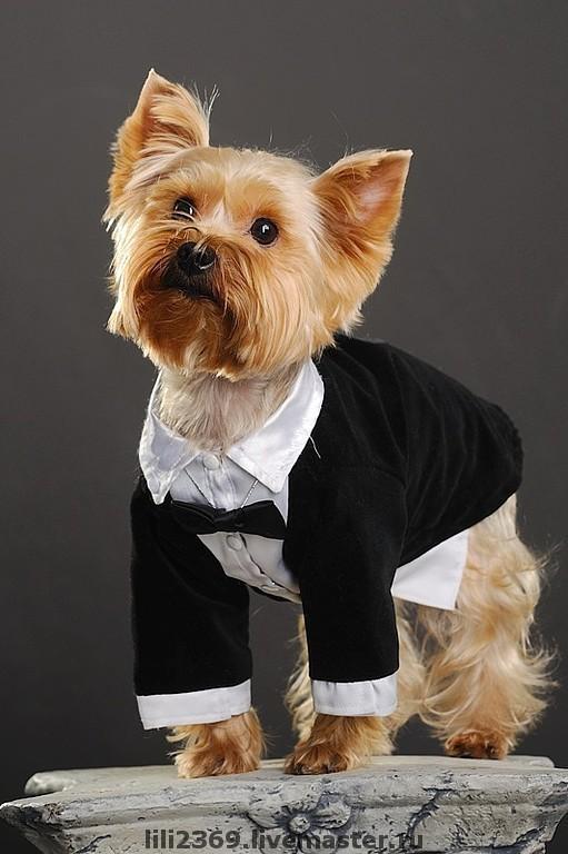Одежда для собак, ручной работы. Ярмарка Мастеров - ручная работа. Купить Фрак. Handmade. Одежда для собак, йорк, той-терьер
