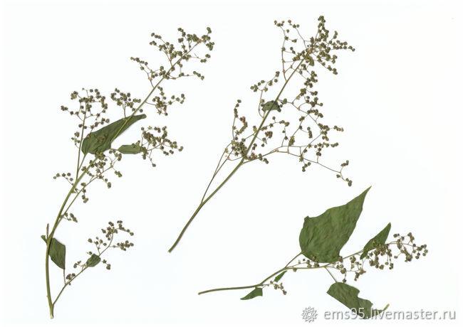 Лебеда плоская сушка гербарий. Сухоцветы, Сухоцветы, Краснодар,  Фото №1