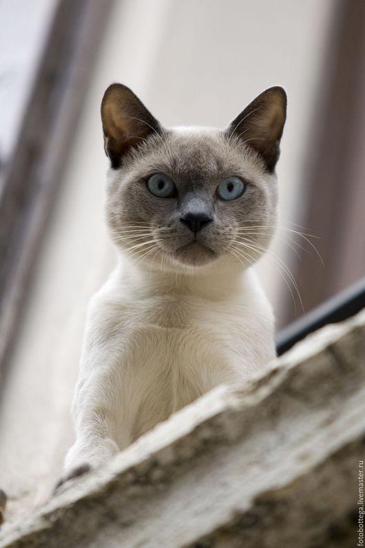 Фотокартины ручной работы. Ярмарка Мастеров - ручная работа. Купить Фотокартина Любопытная (сиамская) кошка. Handmade. Бежевый, сиамская кошка