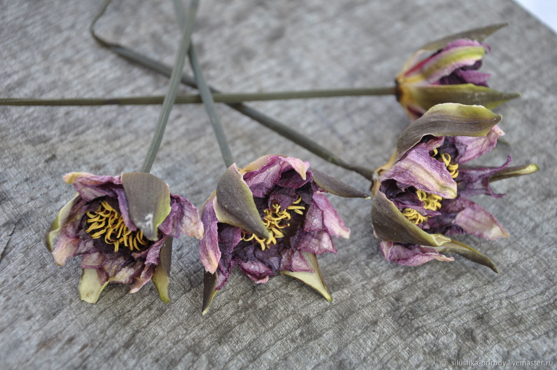 Цветок кувшинки (нимфеи) . Сухоцвет, Сухоцветы, Апшеронск, Фото №1