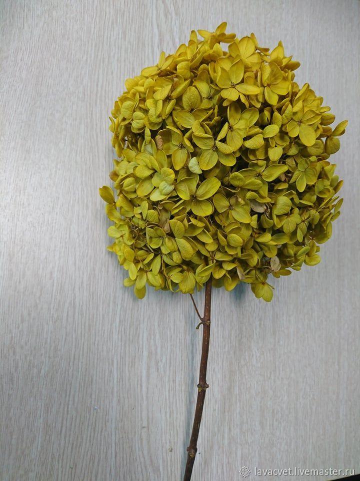Стабилизированная гортензия цвет Охра, Растения, Москва,  Фото №1
