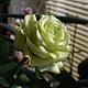 """Цветы ручной работы. Роза """" Green Tea """". Катерина Доброва (Кетлин). Ярмарка Мастеров. Роза ручной работы"""