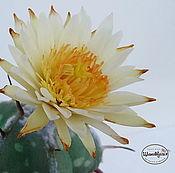 Цветы и флористика handmade. Livemaster - original item Cactus Astrophytum polymer clay. Handmade.