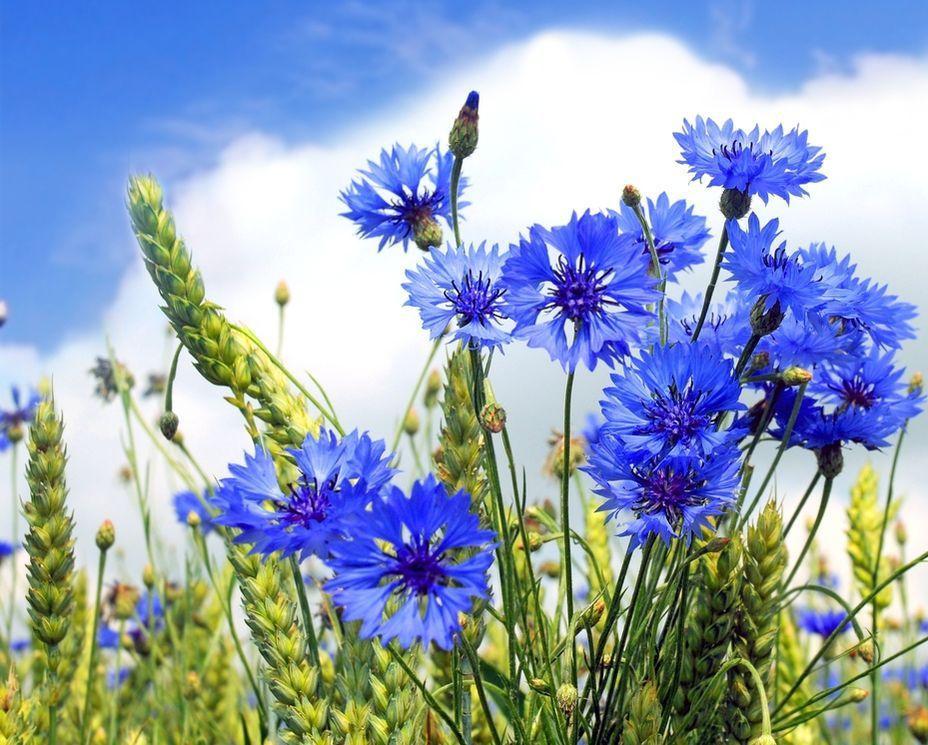 васильки цветы картинки фото около воды
