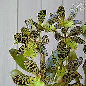 Цветы и флористика ручной работы. Ярмарка Мастеров - ручная работа орхидея из глины , холодный фарфор Каттлея экзотическая. Handmade.