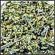 Материалы для косметики ручной работы. Ярмарка Мастеров - ручная работа. Купить Лимонник крымский - травы Крыма. Handmade. Травы