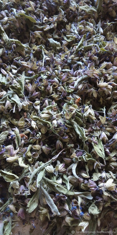 Salvia officinalis, Plants, Neman,  Фото №1