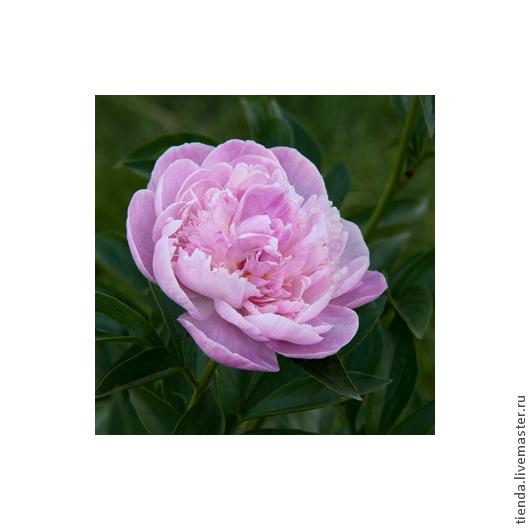 """Картины цветов ручной работы. Ярмарка Мастеров - ручная работа. Купить Фотокартина """"Розовый пион"""". Handmade. Фотография, фотокартина"""