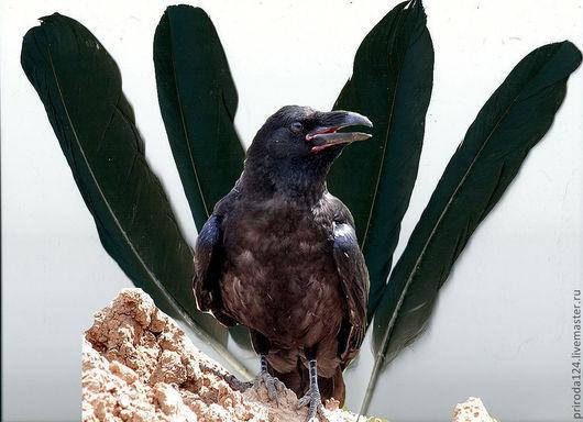 ВОРОН - это не муж ВОРОНЫ! Это другая птица! На фото - маховые перья