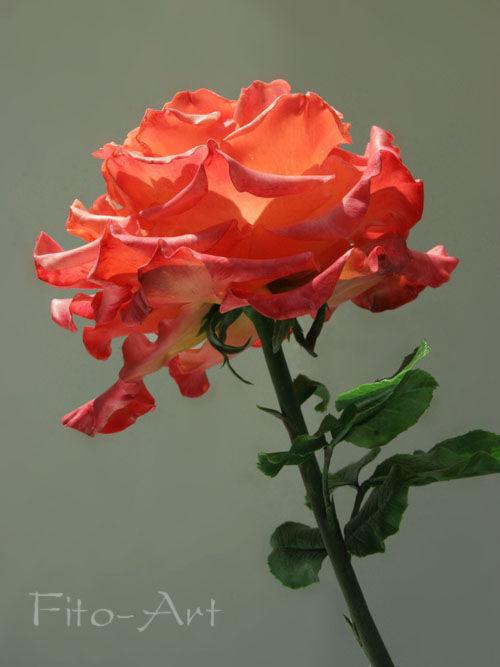 Цветы ручной работы. Ярмарка Мастеров - ручная работа. Купить Пышная роза из холодного фарфора. Handmade. Красная роза