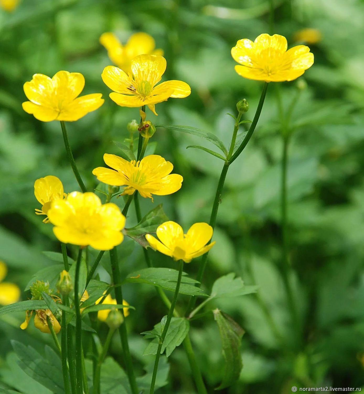 желтые цветы фото с названиями полевые актриса особенно