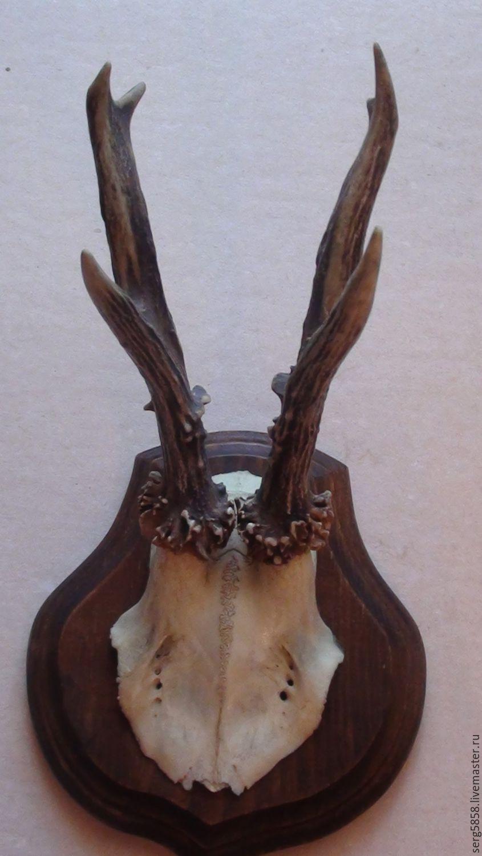 Рожки косули на медальоне