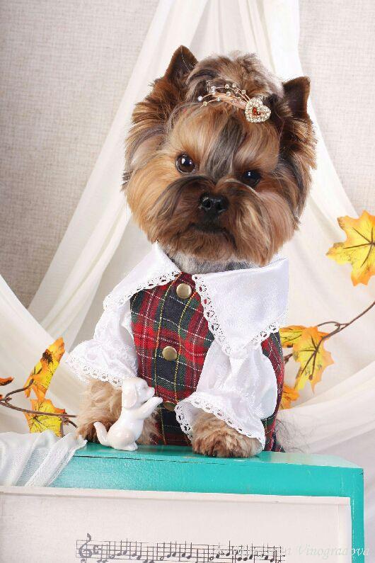 Одежда для собак, ручной работы. Ярмарка Мастеров - ручная работа. Купить Костюм Нарядный. Handmade. Разноцветный, одежда для собак