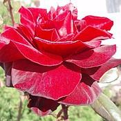 """Картины и панно ручной работы. Ярмарка Мастеров - ручная работа Фотокартина """"Красная Роза"""". Handmade."""
