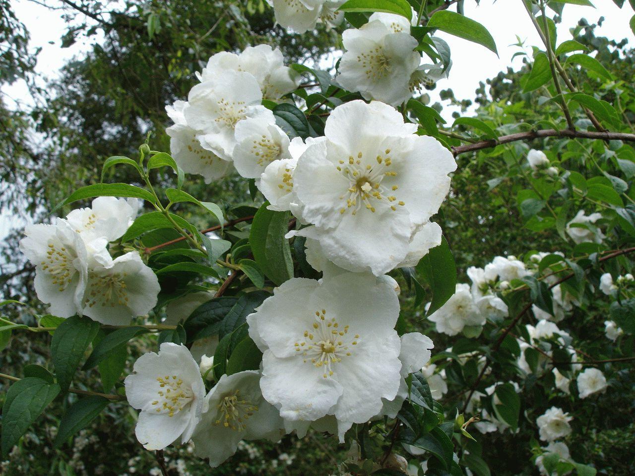 Цветки жасмина купить москва, доставка цветов