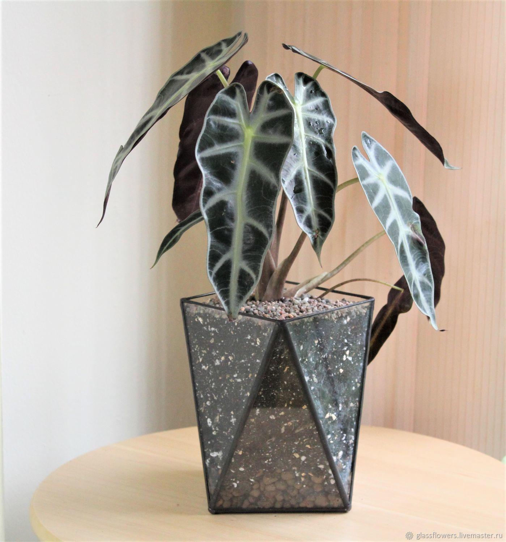 Флорариум  с алоказией, Растения, Санкт-Петербург,  Фото №1