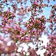"""Фотокартины ручной работы. Ярмарка Мастеров - ручная работа. Купить Фотокартина """"Яблоневый цвет"""". Handmade. Фотография, яблоня, небо"""
