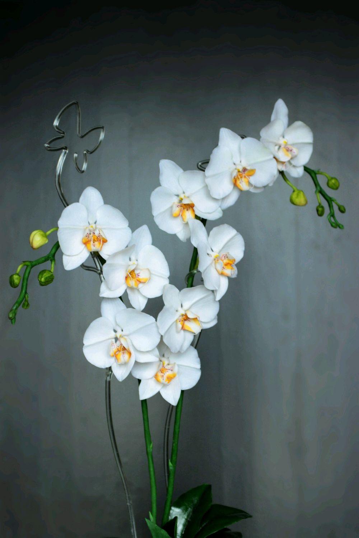 Белая орхидея, Цветы, Москва, Фото №1