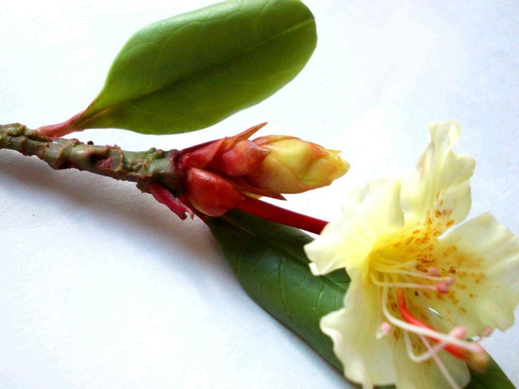 Рододендрон золотистый(муляж)из полимерной глины, Цветы, Омск, Фото №1