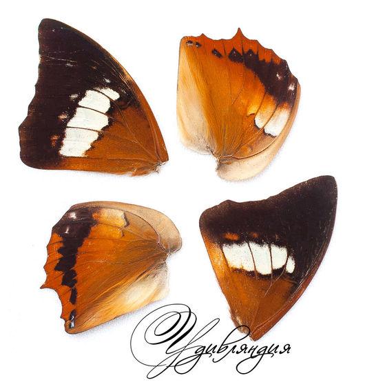 Другие виды рукоделия ручной работы. Ярмарка Мастеров - ручная работа. Купить Крыло бабочки натуральное №9.. Handmade. Белый