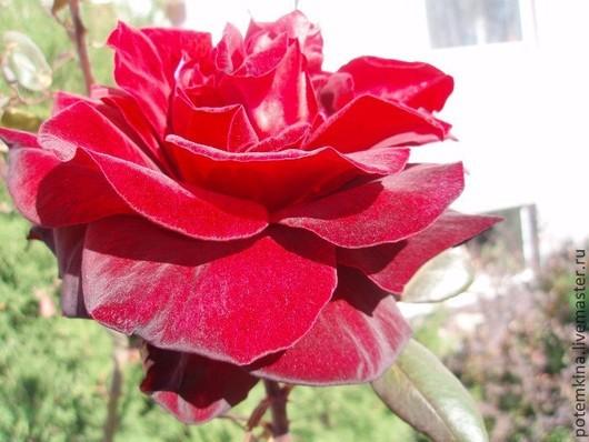 """Фотокартины ручной работы. Ярмарка Мастеров - ручная работа. Купить Фотокартина """"Красная Роза"""". Handmade. Красная роза, фотокартина"""