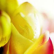 Картины и панно ручной работы. Ярмарка Мастеров - ручная работа Фрезии 2. Фотокартина. Handmade.
