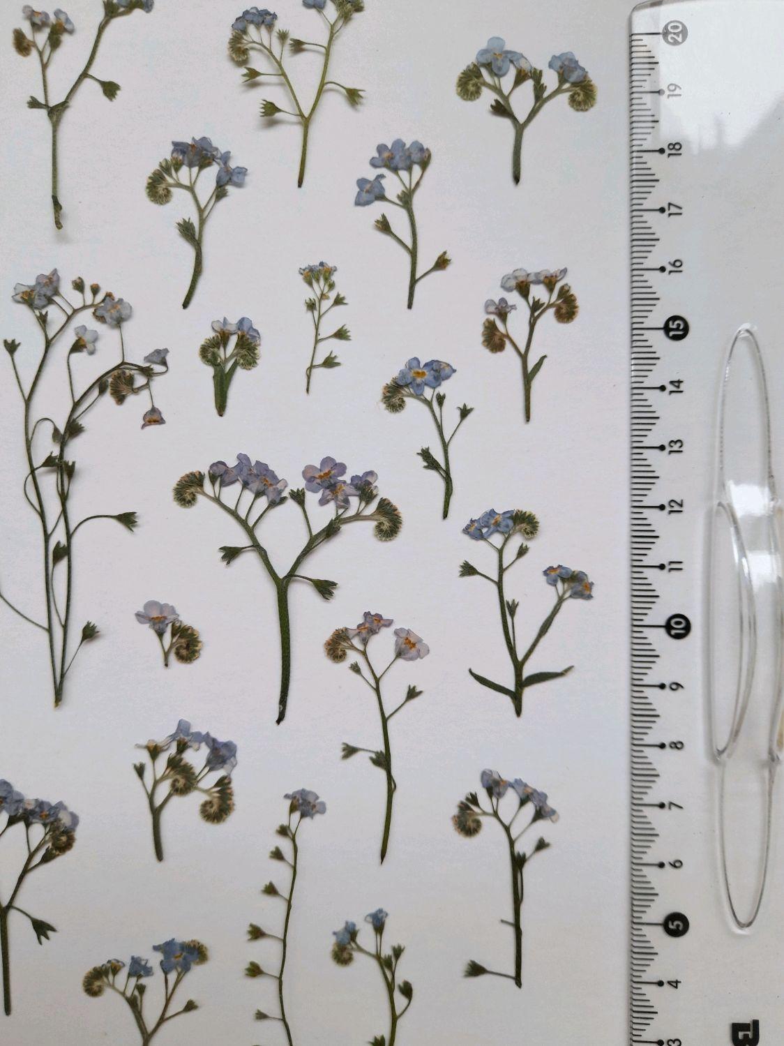 Незабудка Сухоцветы. Плоская сушка. Сушеные цветы, Сухоцветы для творчества, Тамбов,  Фото №1