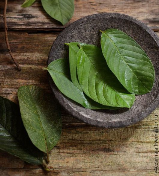 wound healing and guava leaves Causes and symptoms of wounds herbal treatment of wounds by  ( makhanphal ) has good wound healing  boil one cup fresh guava ( amrood ) leaves in 3 cups.