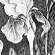 Картины цветов ручной работы. Ирисы. Наталья Атлянова. Ярмарка Мастеров. Ирисы, графика