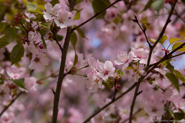 Сакура цветет, Фотокартины, Москва, Фото №1